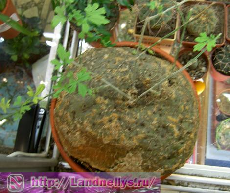 бутылочные растения