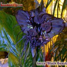 Такка Шантрье Блек Бьюти — Tacca chantrieri Black Beauty