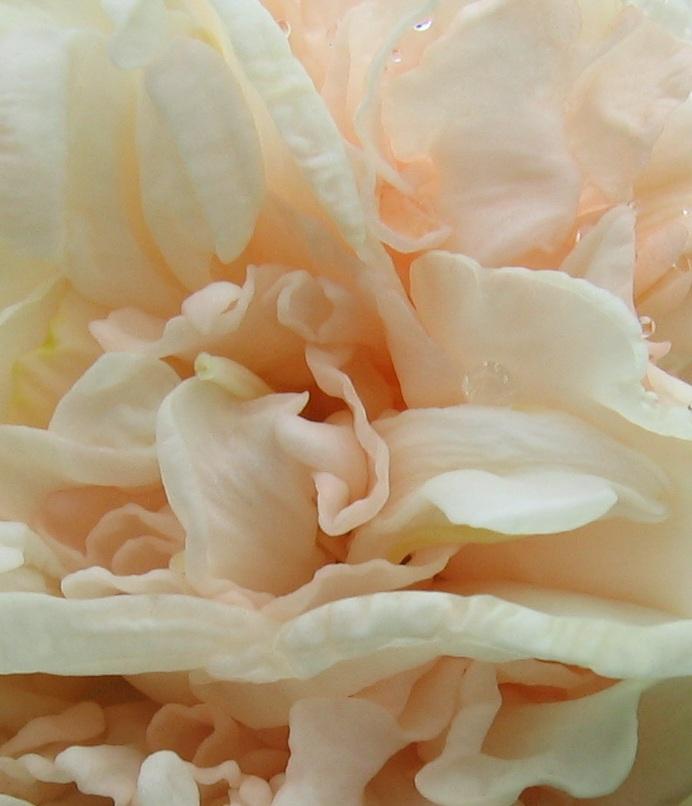 нарцисс рози клауд