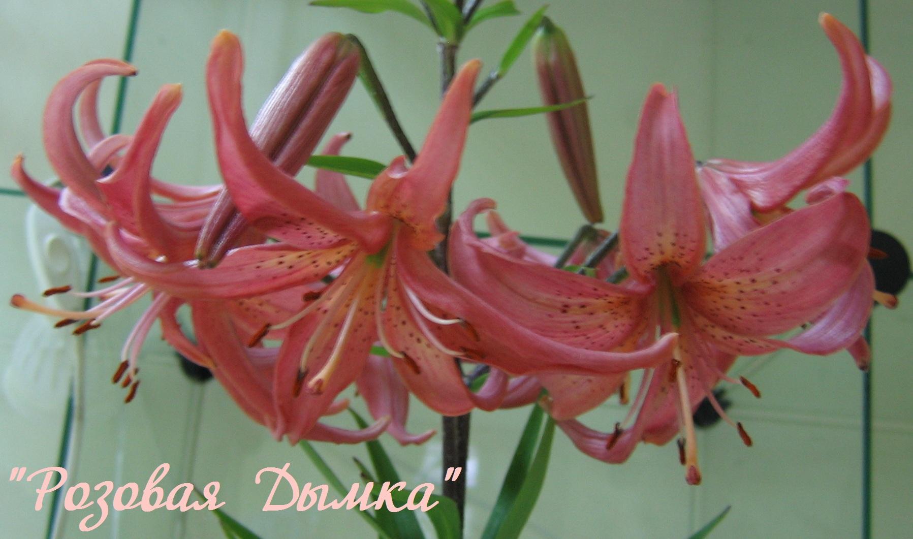 лилия розовая дымка