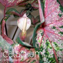 Каладиум. Caladium