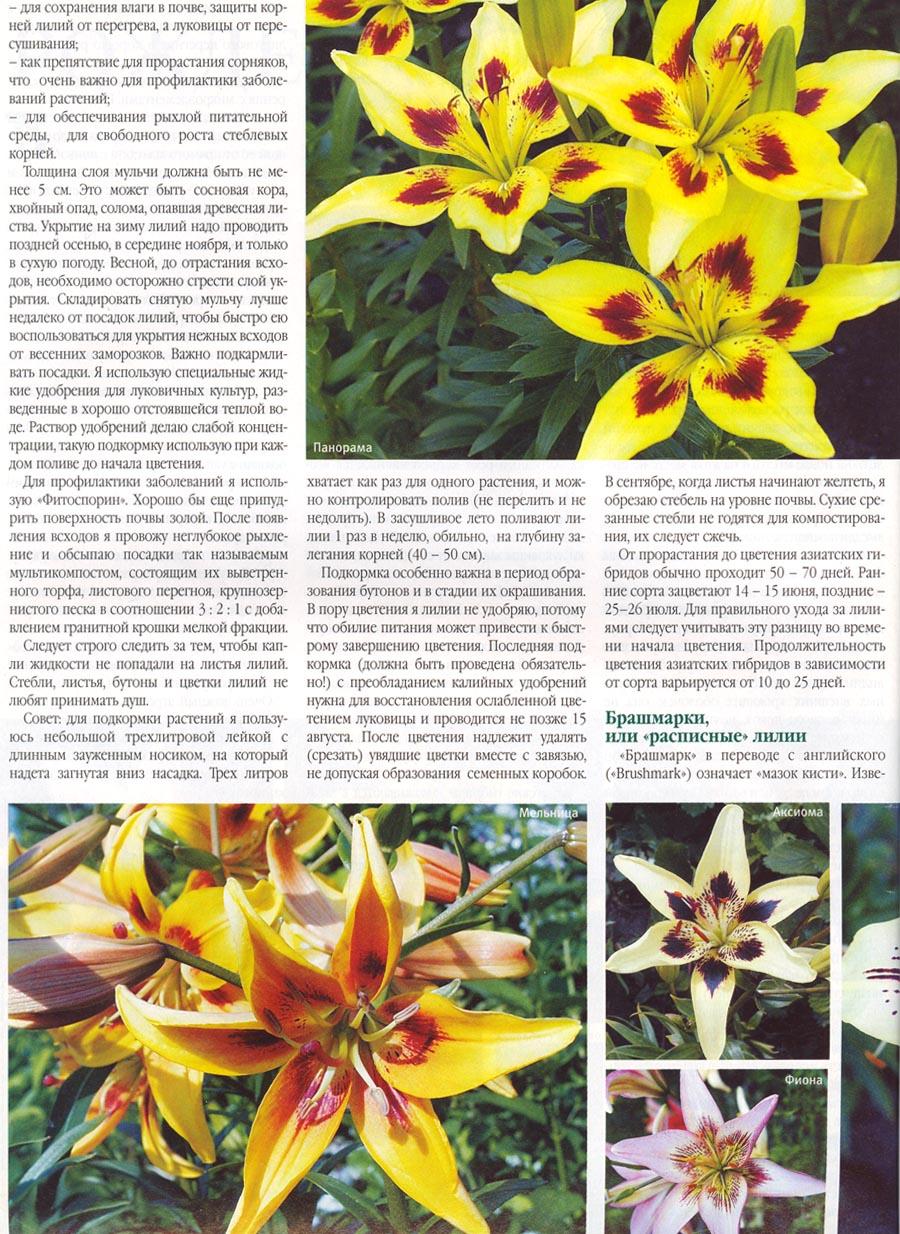 Посадка и пересадка лилий осенью - Садовые цветы 14