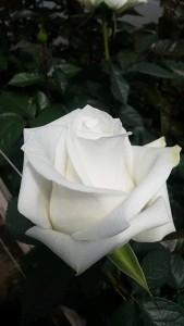 роза лермонтов