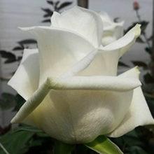 Роза Лермонтов rose Lermontov