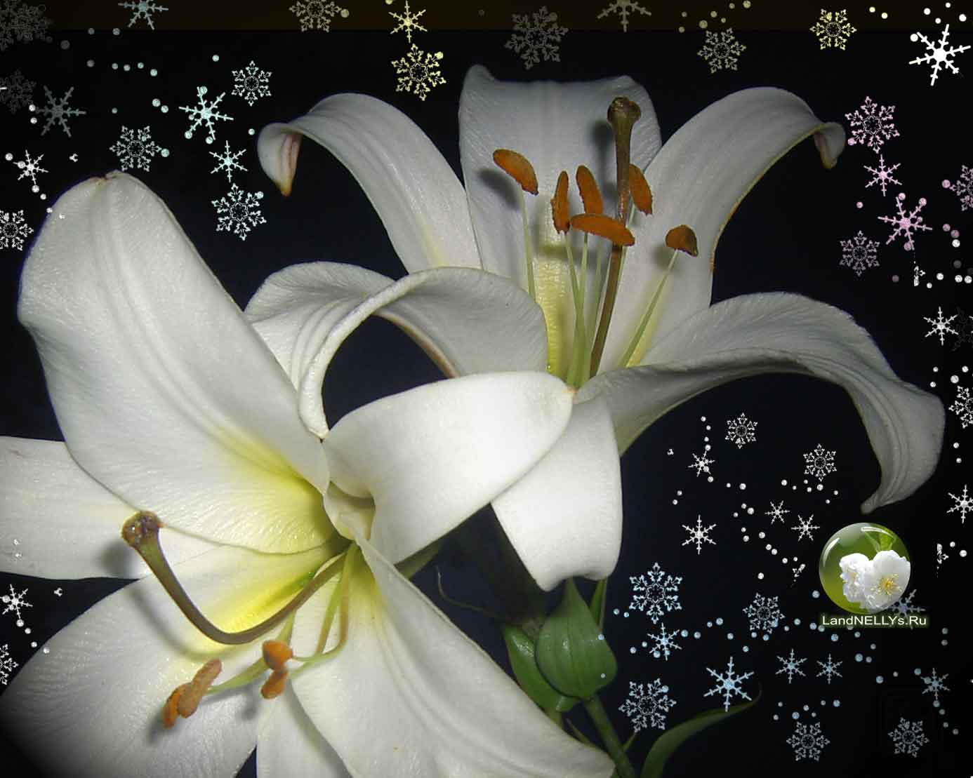 лилии lilium