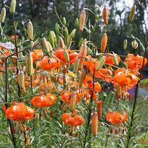 азиатские гибриды лилий
