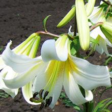Лилии трубчатые и орлеанские. Способы размножения