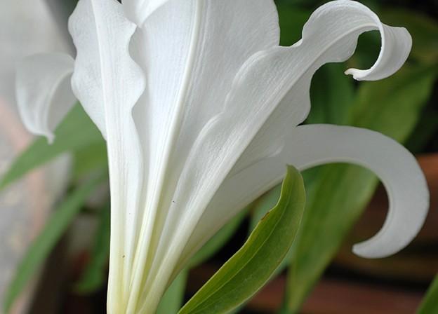 лилия александры