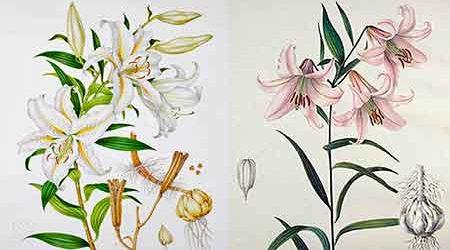 лилии восточные гибриды