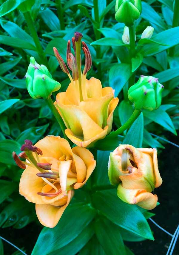 лилия эприкот фадж