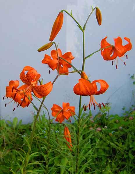 5 способов ускоренного размножения лилий