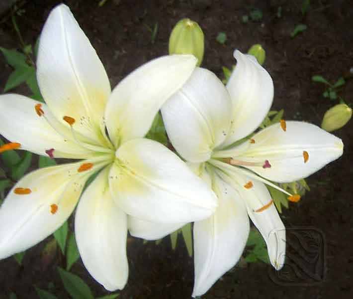 лилия эскимо азиатский гибрид