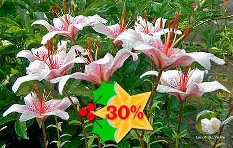 Скидка 30% на 10 луковиц лилии Баттерфляй