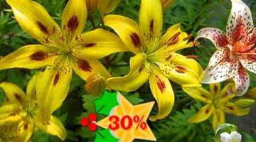 Лилия Панорама купить со скидкой 30%
