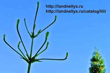 лилия саламандра махровая