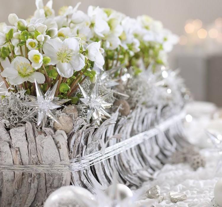 Почему морозник называют Рождественская роза ?