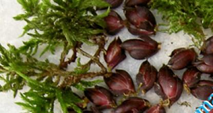 Бульбочки — это мини-луковицы