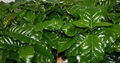 Комнатный Кофе арабика. Сoffea arabica