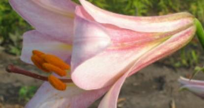 Лилии. Трубчатые и орлеанские гибриды