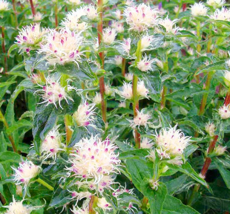 Цветы многолетники