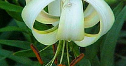 Азиатские гибриды лилий. Раздел 1