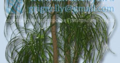 НОЛИНА бутылочное дерево