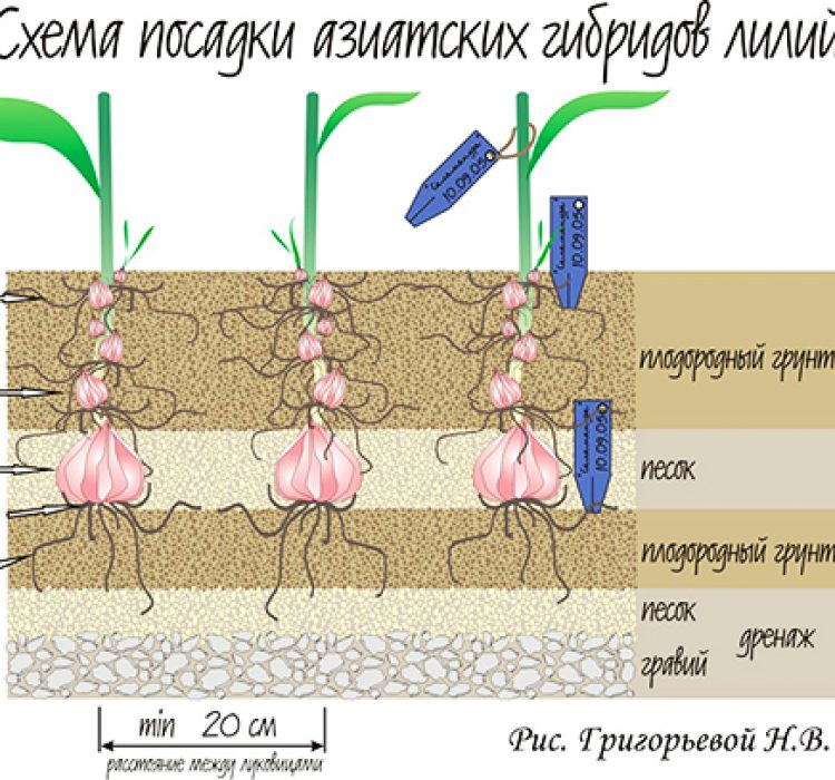 Как правильно посадить и пересадить лилии?