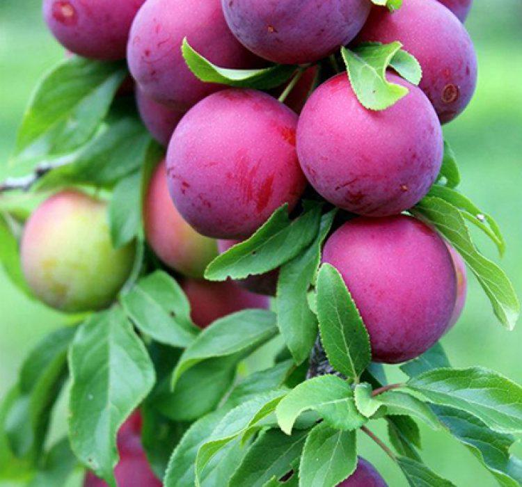 Посадочный материал для проекта плодового сада