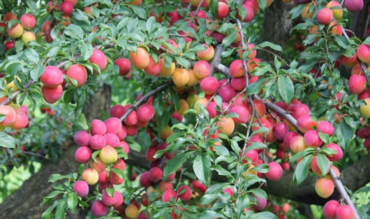 Плодовые сады