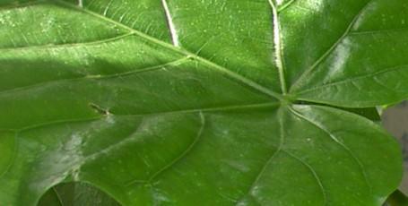 Фикус Ficus Umbellata